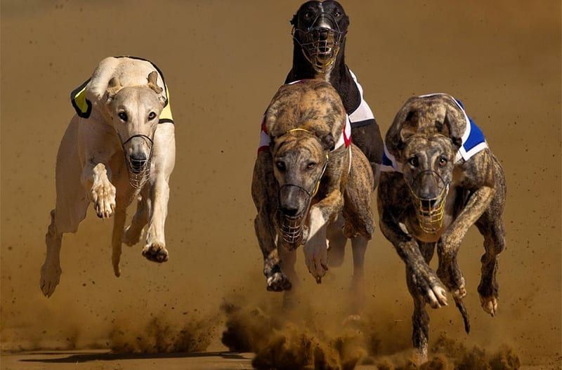 Florida greyhounds
